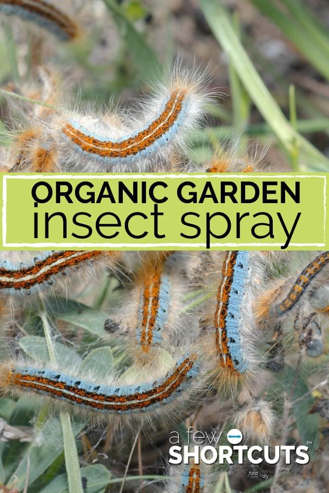 Do you have a bug problem in your organic garden but don't want to use pesticides?! Check out this Organic Garden Insect Spray Recipe