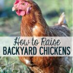 how-to-raise-backyard-chickens
