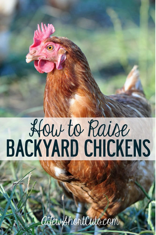 Become more self sustainable and learn How to Raise Backyard Chickens with these easy tips! You can't beat farm fresh eggs from your own backyard!