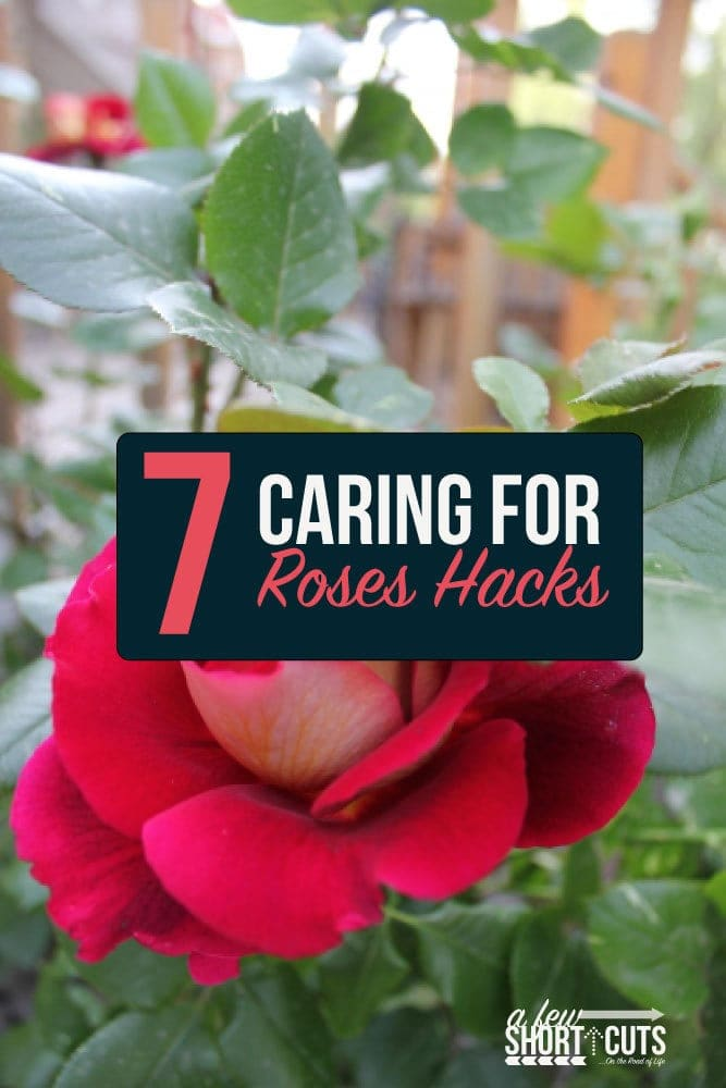 Love roses, but not sure where to start with your garden? Check out these 7 Caring for Roses Hacks!