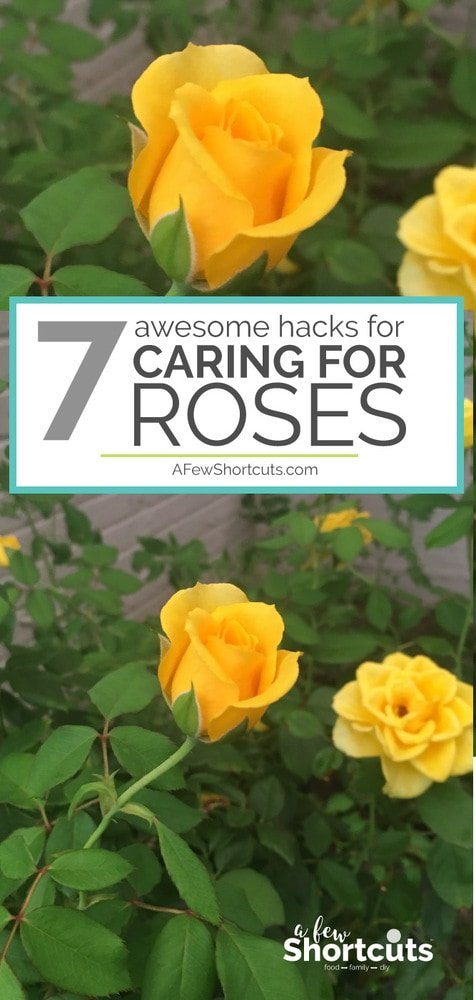 Love Roses, but don't feel like your thumb is green enough? Check out these 7 Awesome Hacks for Caring for Roses so you end up with a beautiful garden!
