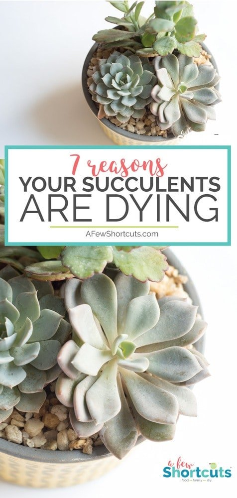 Give these 7 reasons your succulents are dying your consideration, make the changes needed, and enjoy the succulents you have always dreamed of. #gardening #succulents #tips