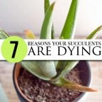 7-reasons-your-succulents-are-dying