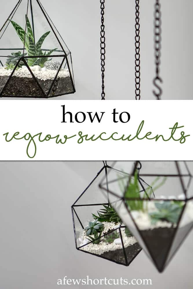 How-to-Regrow-Succulents
