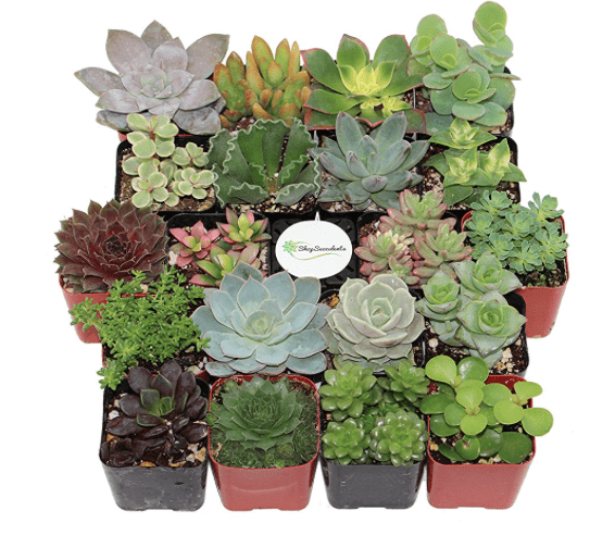 Do you love succulents, but you aren't sure where to buy them? Check out the best place to buy succulents to ensure a beautiful garden.