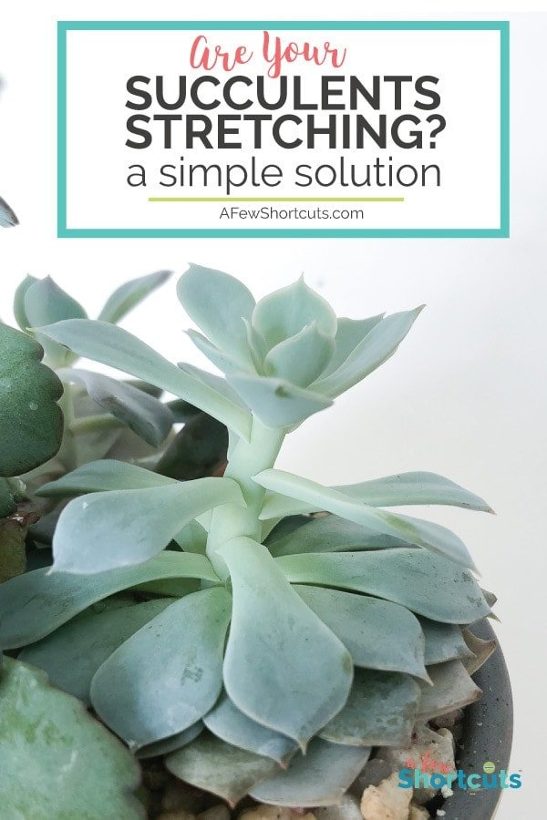 Are your succulents stretching taller and taller? Learn a simple solution to get them back to normal and how to prevent them from stretching again.