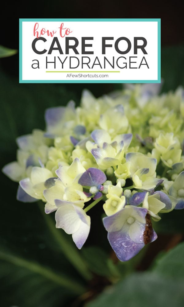 Do you love flowers? Learn how to care for a hydrangea and grow your own beautiful blooms all season long! Check out these 5 things you should know!