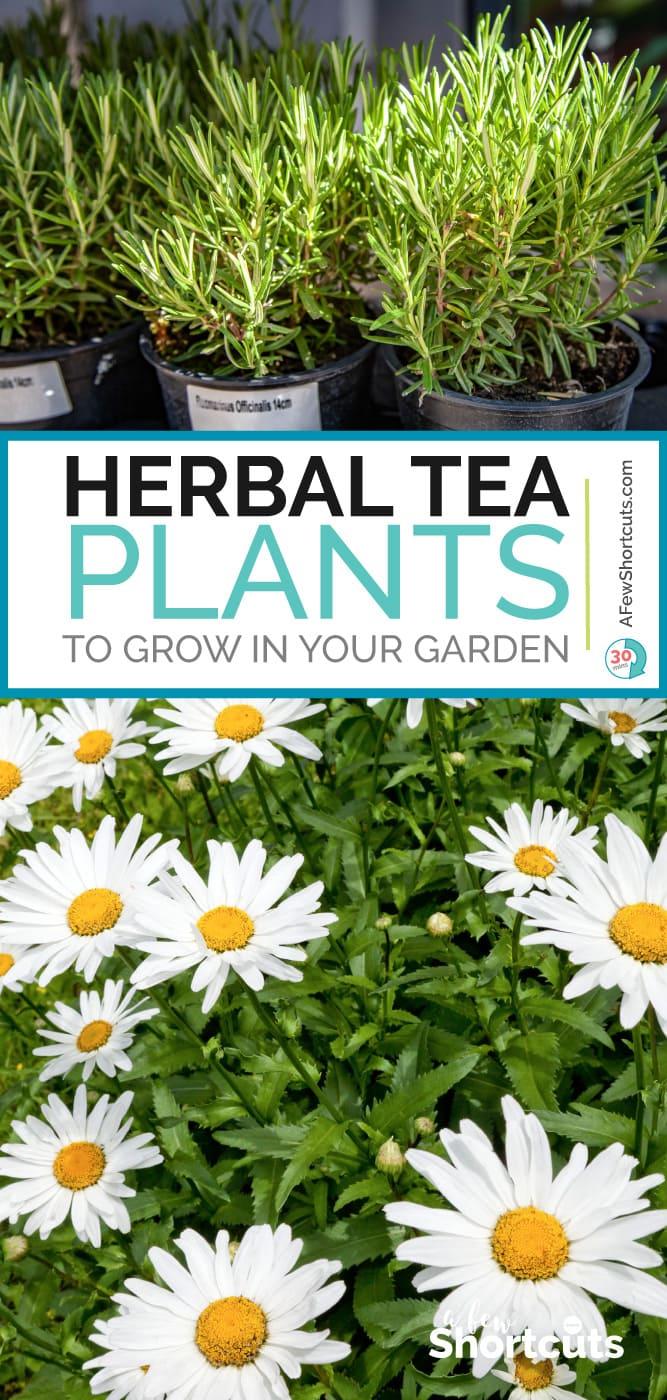 Herbal tea plants