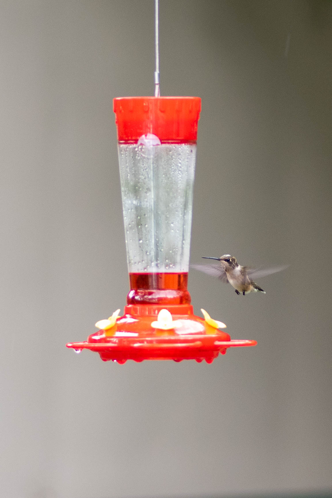 photo relating to Printable Hummingbird Nectar Recipe known as How in the direction of Bring in Hummingbirds toward Your Garden - A Several Shortcuts