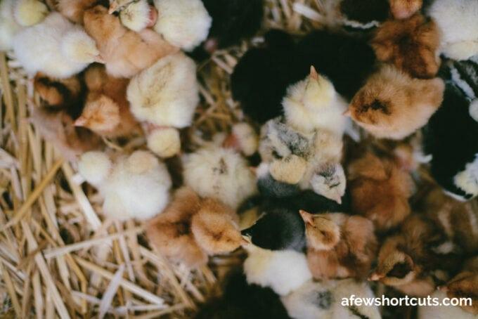 Baby Chicks on hay