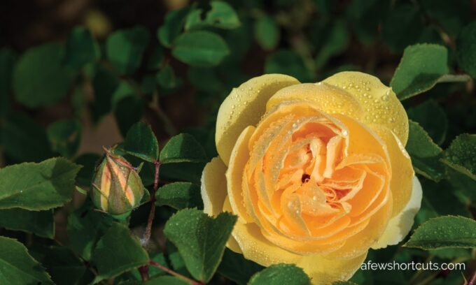 7 Reasons Why Your Roses are Dying