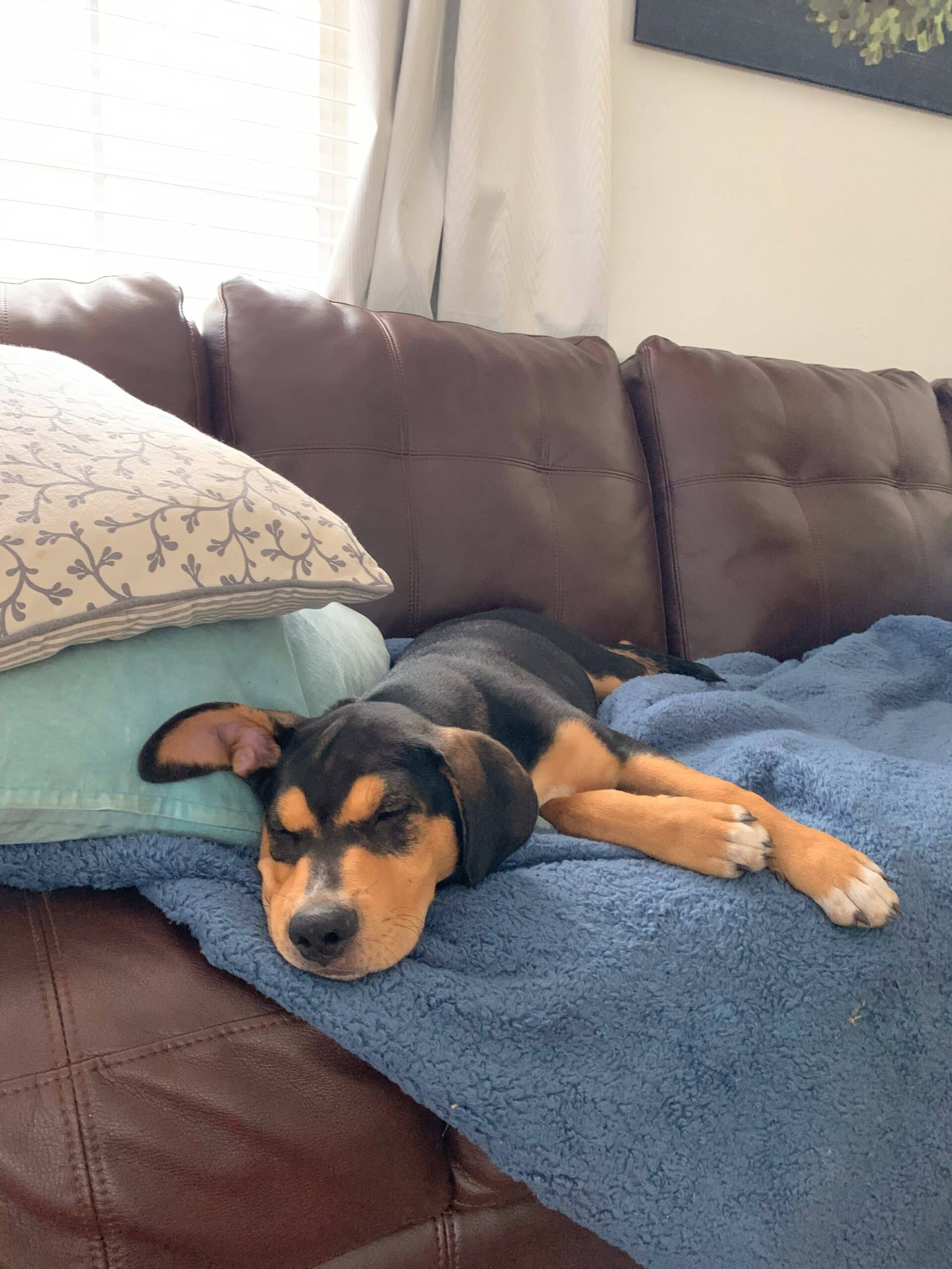 Puppy on blue blanket on couch